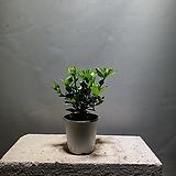 치자나무 치자 공기정화식물 29 