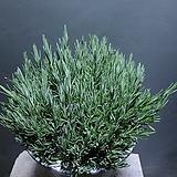 라벤다 허브 중대품 공기정화식물 123 