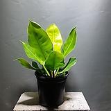 문라이트콩고 형광콩고 중품 공기정화식물 129 