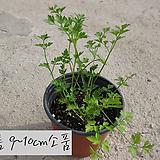 이탈리안 파슬리 (Italian parsley) 지름 9~10cm 소품 허브화분(단독구매시 5000원 이상배송가능)|Hub