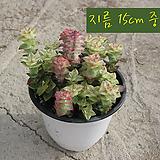 남십자성 (Crassula Perforata v. variegata) 지름 15cm 중품 다육화분|Crassula perforate var