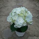 수국|Hydrangea macrophylla