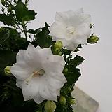 흰겹캄파눌라|