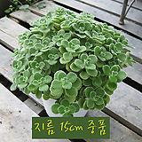 장미허브(Vicks Plant, Succulent Coleus) 지름 15cm중품 허브화분|Hub