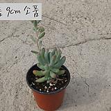 을녀심(sedum pachyphyllum ) 지름 9cm 소품 다육화분 (단일품목 구매시 5천원 이상 배송가능)|sedum pachyphyllum