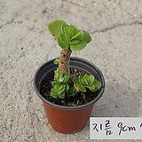 녹비단 (은행목Portulaca molokiniensis) 지름 9cm 소품 다육화분 (단일품목 구매시 5천원 이상 배송가능)|