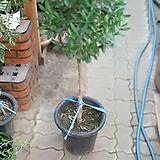 올리브나무 외목대 대형올리브 공기정화식물 399 