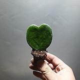 청하트호야케리 호야 수입호야 공기정화식물 23 