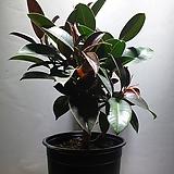 멜라니고무나무 고무나무 중대품 공기정화식물 159 Ficus elastica