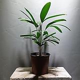 관음죽 중품 공기정화식물 85 