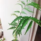 폴리셔스(목질화된 목대와 시원스럽 잎이 멋져요)화분포함(흰색과 블루중 랜덤)/분갈이별도/크기 약 100cm|