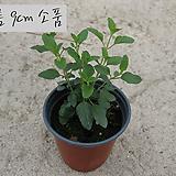 핫립세이지(Hotlip Sage) 지름 9cm 소품 허브화분 (단독주문시 5000원 이상주문가능)|Hub