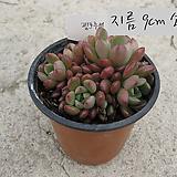 핑크루비(Sedeveria Pink Ruby)지름 9cm 소품 다육화분(단독주문시 5000원 이상주문가능)|Sedeveria pink rubby