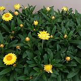 종이꽃.노란색.꽃이 바시락거리는 소리가 납니다.꽃이 계속하여 핍니다.꽃이 너무예뻐요.꽃수명긴상품. Echeveria Riga