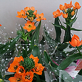 베들레헴의 별.오니소갈룸.(주황색꽃).꽃이 너무예뻐요.꽃수명긴상품. 