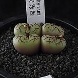XP3399-Conophytum cv.안수희安秀姬4두|