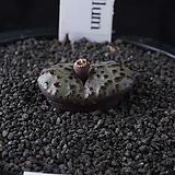 XP3405-Conophytum  obcordellum  홍문(紅紋)|