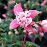 꽃이 오래가는 후쿠시아 후쿠샤 겹후쿠사 후쿠시야|