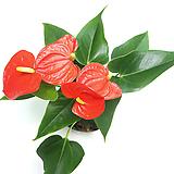 안스리움 안시리움 봄꽃화분 실내공기정화식물 Anthurium andraeaeanum