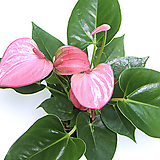 안스리움 안시리움 봄꽃화분 실내공기정화식물