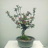 명품수형 알프스오토매(미니사과) 분재(대품) 사과나무(10개한정) 과실수 유실수|