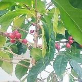 커피나무(대품) 빨간커피열매 주렁주렁 아라비카|
