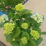 한아름 블루수국(꽃대 7개이상)|Hydrangea macrophylla