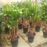 행운목(대품) 개업 집들이 선물 공기정화식물 습도조절 미세먼지제거 탁월|happy tree