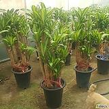 행운목(특대품) 개업선물 집들이선물 공기정화식물 미세먼지탁월|happy tree