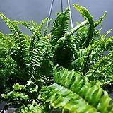 보스턴고사리 고사리 행잉 공중식물 공기정화식물 119 