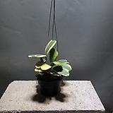 무늬하트호야 호야 수입호야 공기정화식물 99 Hoya carnosa