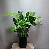 스파트필름 중품 공기정화식물 119 
