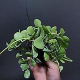 디시디아애플그린 소품 디시디아 공기정화식물 39 