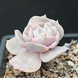 릴리시나금-3-5736|Echeveria lilacina