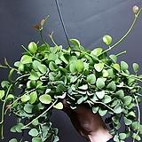 디시디아그린가로바 디시디아 그린 공기정화식물 219 
