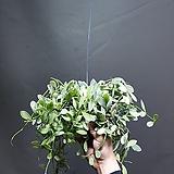 디시디아화이트가로바 디시디아 공기정화식물 수입식물 219 