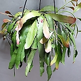 립살리스루비 수입식물 대품 공기정화식물 329 