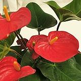 안스리움 공기정화식물 
