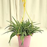 오션[접란]  공기정화식물 