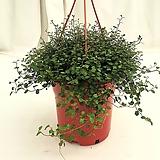 트리안걸이 공기정화식물 Muehlenbekia complexa