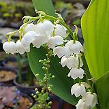 꽃대가득 독일은방울꽃(흰색대륜) 흰색의 아름다운꽃에서 향기가 솔솔....|