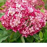 루비아나벨수국.신상품|Hydrangea macrophylla