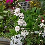 호주매화(흰색,겹)