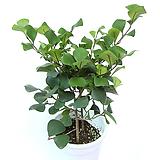 스윗하트 고무나무 거실화분 실내공기정화식물 화초 관엽식물 Ficus elastica
