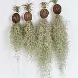 코코넛 틸란드시아|Tillandsia