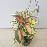 핑크호야/공기정화식물/공중식물|Hoya carnosa