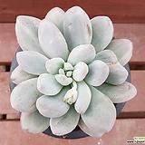 후레뉴금 0352|Pachyphtum cv Frevel