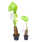 알로카시아 오도라 실내공기정화식물 실내화초 Alocasia