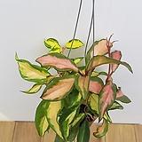 핑크 호야|Hoya carnosa