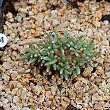 알스토니(꽃색 모름)|Avonia quinaria ssp Alstonii